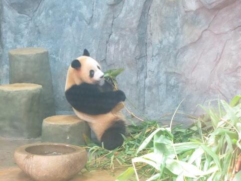 深セン野生動物園にパンダを見に行く